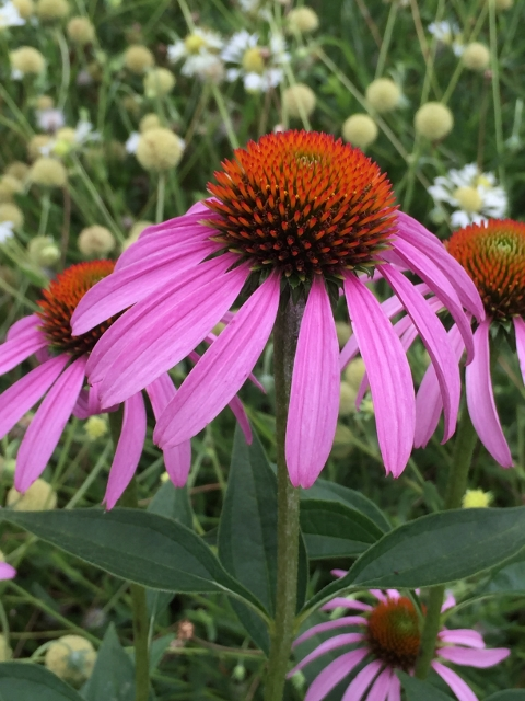 Echinacea purpurea Native Purple Coneflower 2 480x640