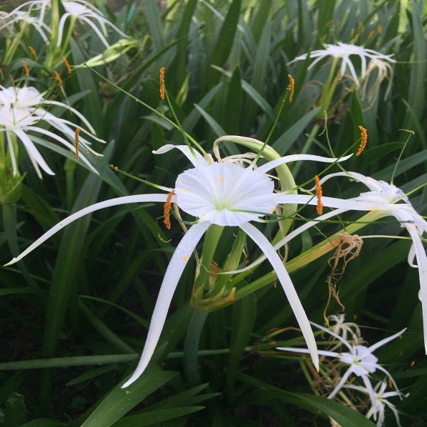 Mexican River Spider Lily closeup