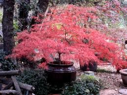 Waterfall Japanese Maple