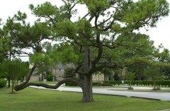 WOCC-Pines-In-Spring-1.jpg