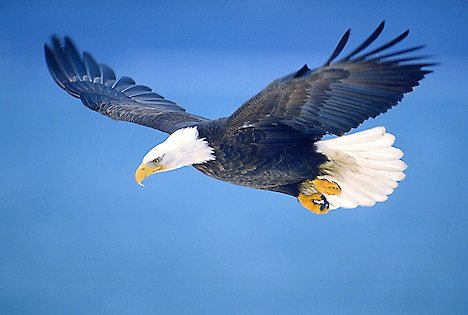 bald eagle in flight 895