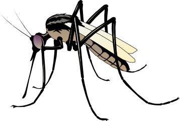 mosquito bold